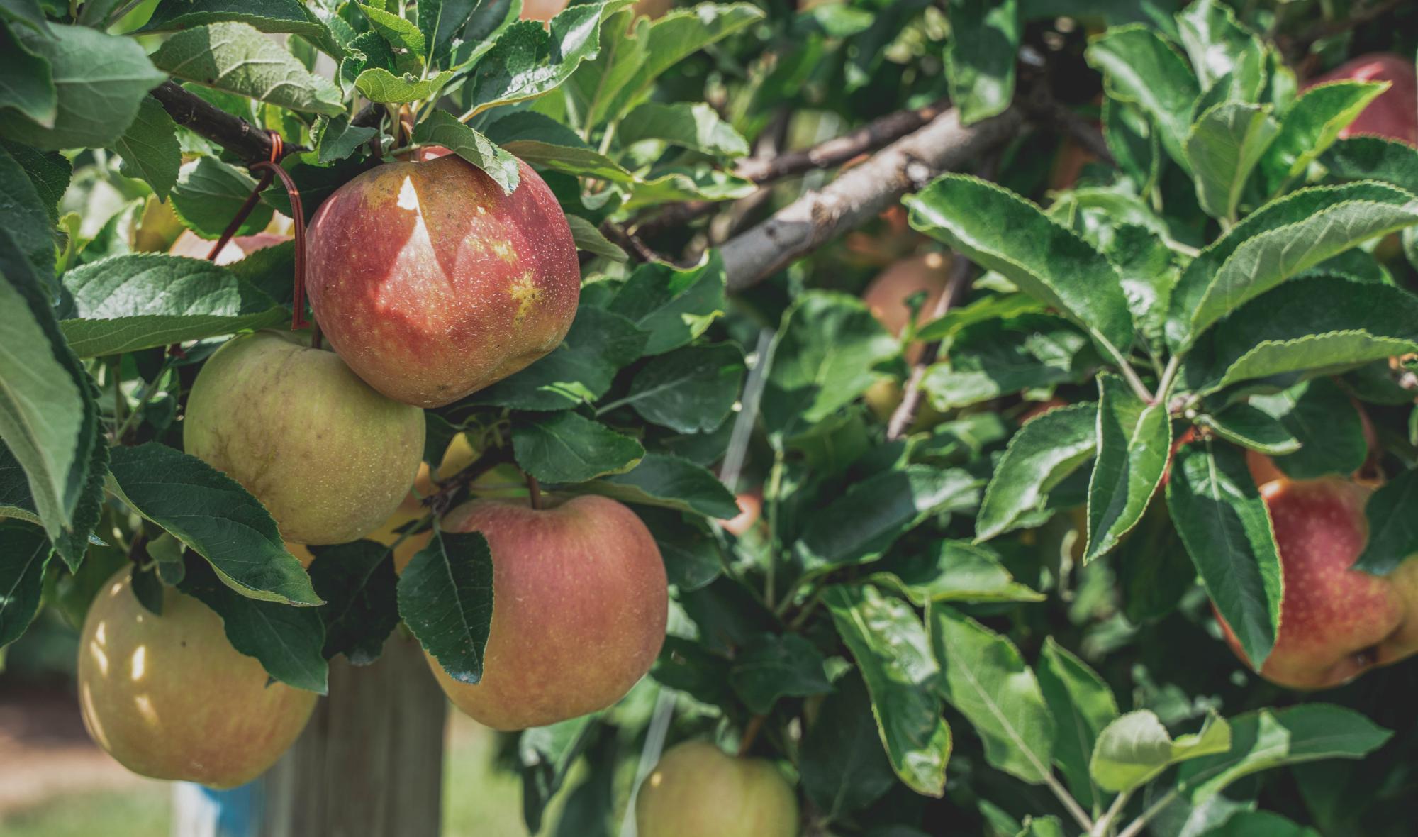 Heb je een appelboom in de tuin staan? Dan is september de perfecte maand om je appels te plukken. In de tuinkalender van deze maand leggen we je uit wanneer en hoe je het beste appels kunt oogsten.